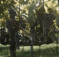 Tour uva vinho4